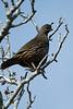 7080 California Quail, Male at Audubon Canyon Ranch in Stinson Beach, California