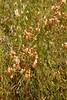 IMG2145 - Rattlesnake Grass