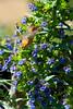 Hummingbird feeding on Pride of Madiera at Audubon Canyon Ranch Stinson Beach, California