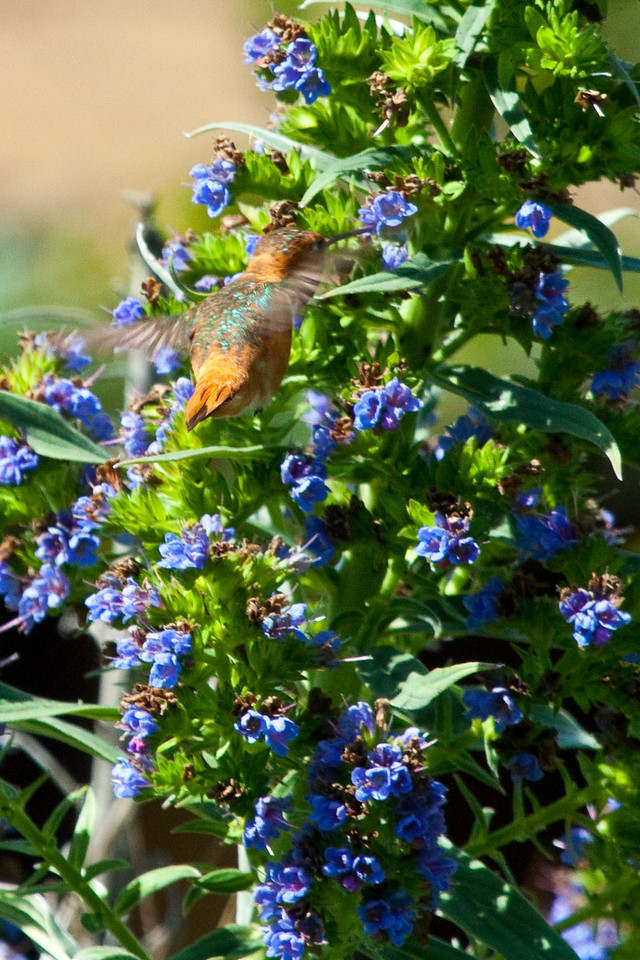 Hummingbird feeding on Pride of Madiera at Audubon Canyon Ranch Stinson Beach, California