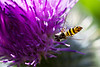 HoverFly6893