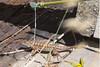 Lizard6110