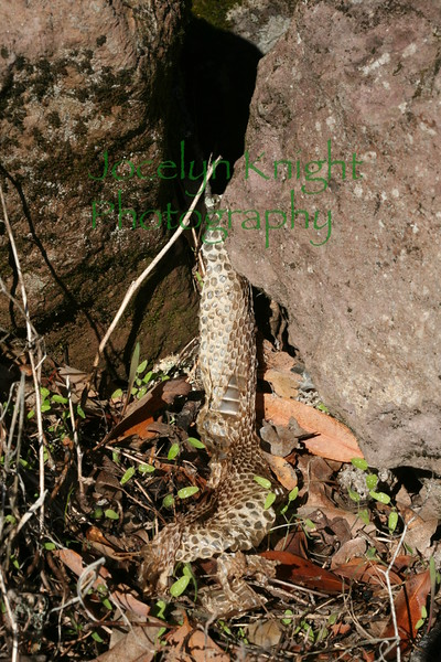 4207 - Rattlesnake skin shed between two rocks at Bouverie Preserve.