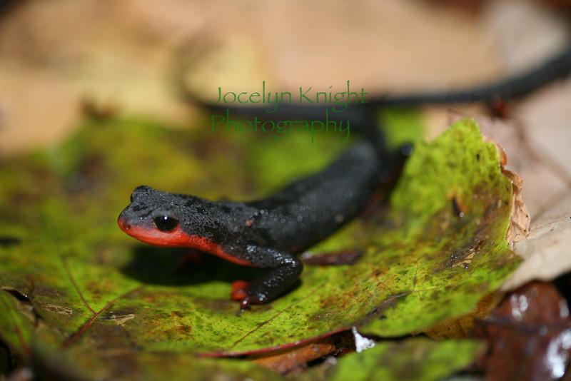 4159  - Red Bellied Newt