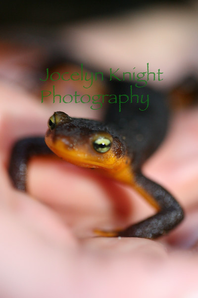 4185 - Rough-skinned Newt