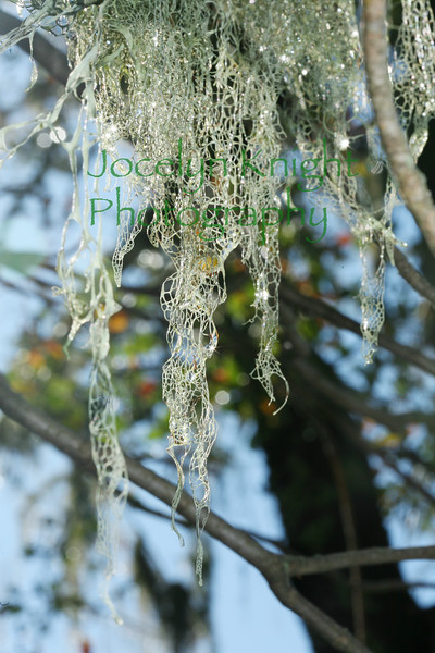 4212-Spanish Lace moss in oak trees