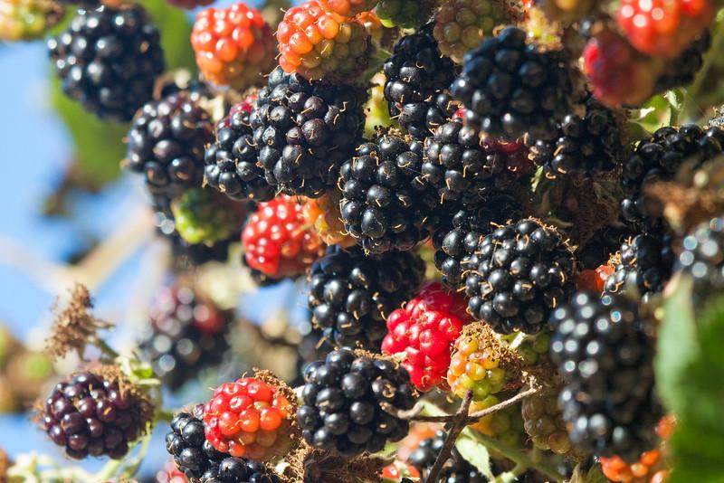 Blackberries8173