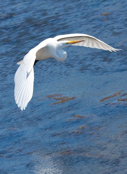 Great White Heron0910