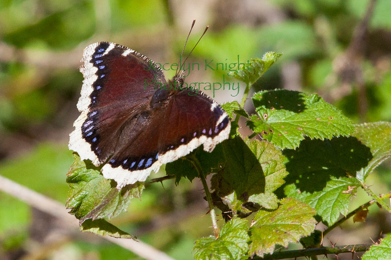 MourningCloak9494