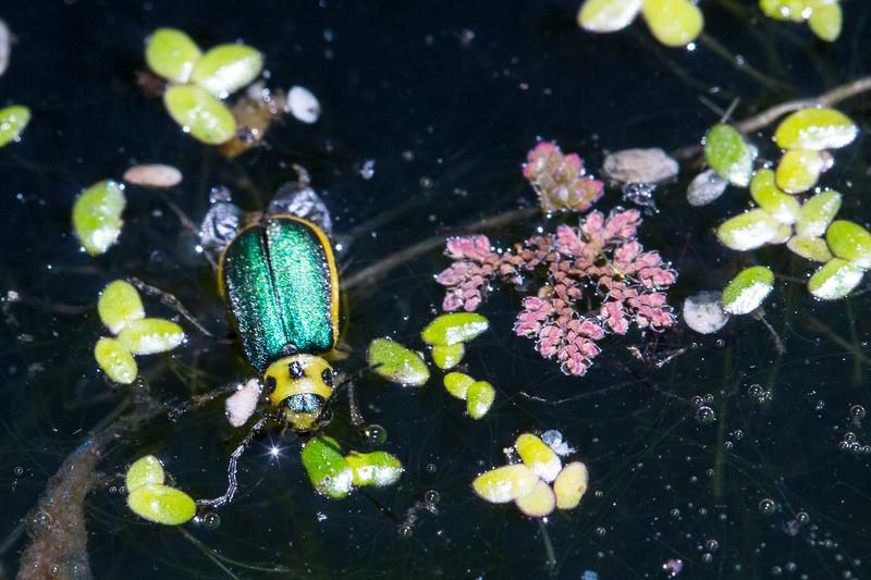 Beetle4497