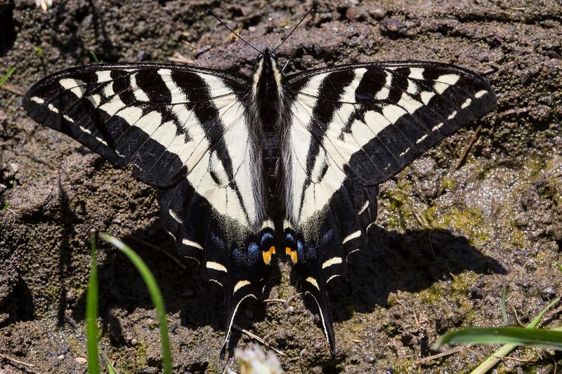 PaleSwallowTail4487
