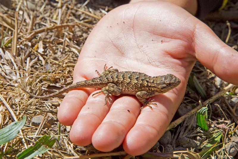 Lizard485