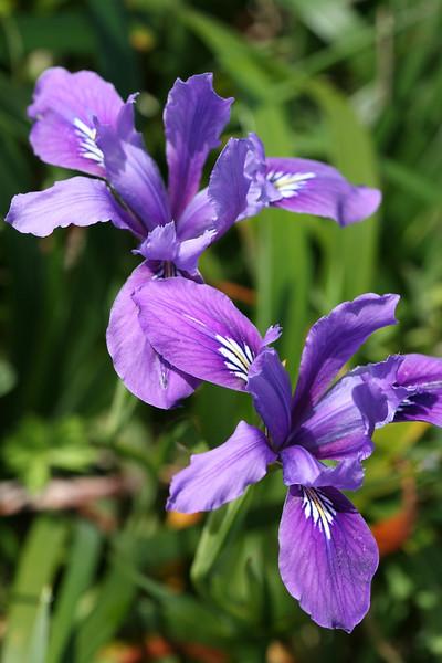 Iris6134