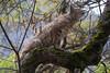 Bobcat4489