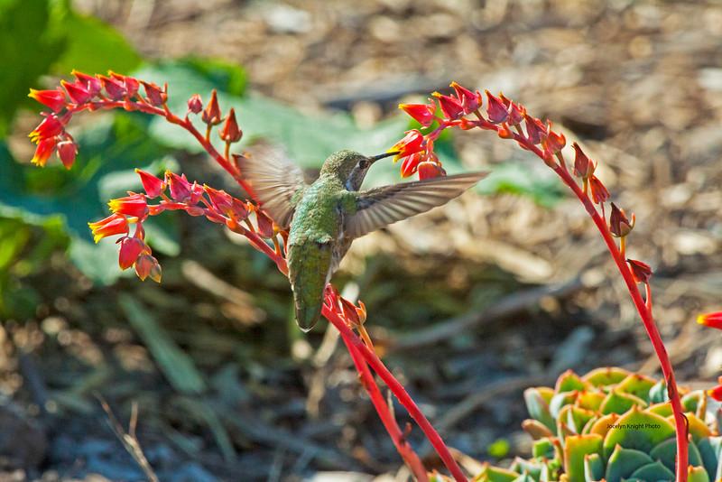 Annas Hummingbird4615