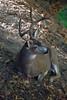 Deer1353