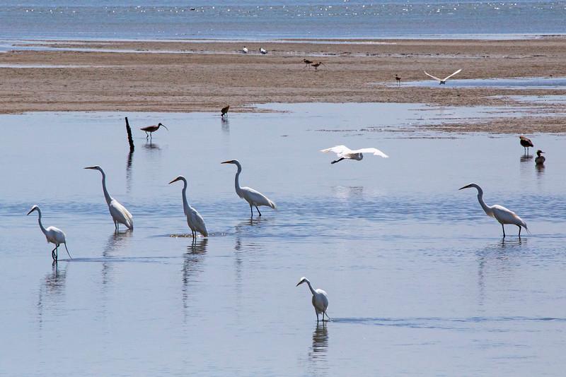 Egrets1926