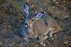 Deer1365