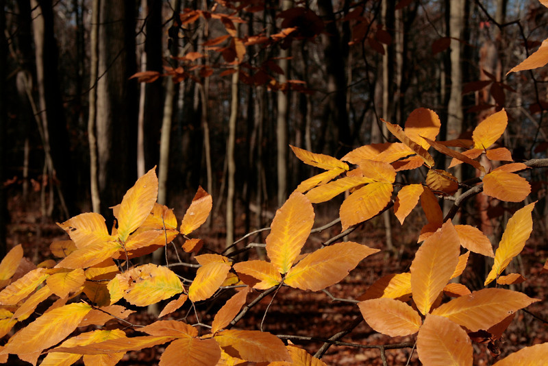 Fall hiking at ACRES Land Trust: Bicentennial Woods.