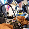 Service Dog Waiting While Wounded Warrior Exercises