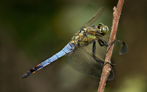 Orthetrum coerulescens; Keeled Skimmer; Male