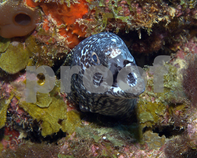 In reality this Spotted Moray is just breathing but he looks mad!
