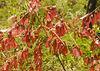 x_74 red-leafed brush - closeup