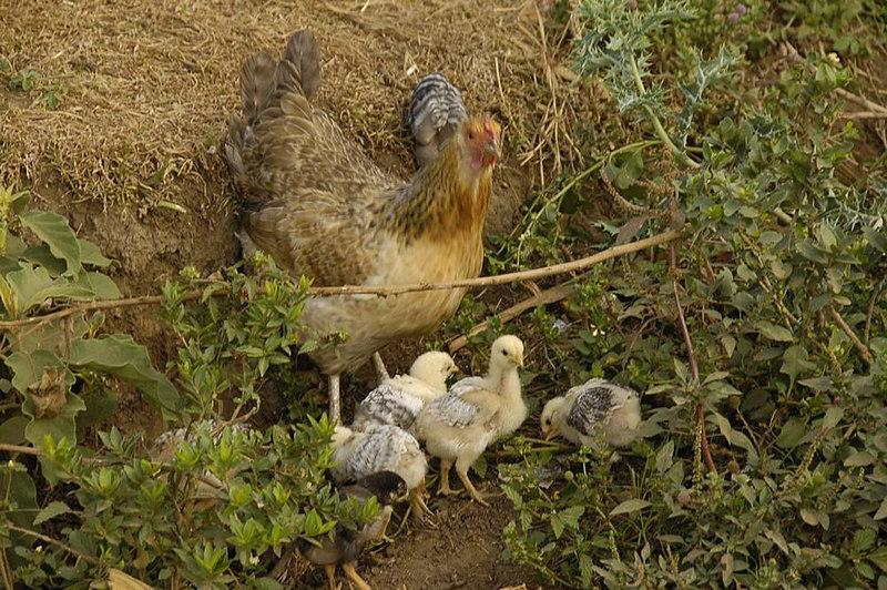 x_46 chickens