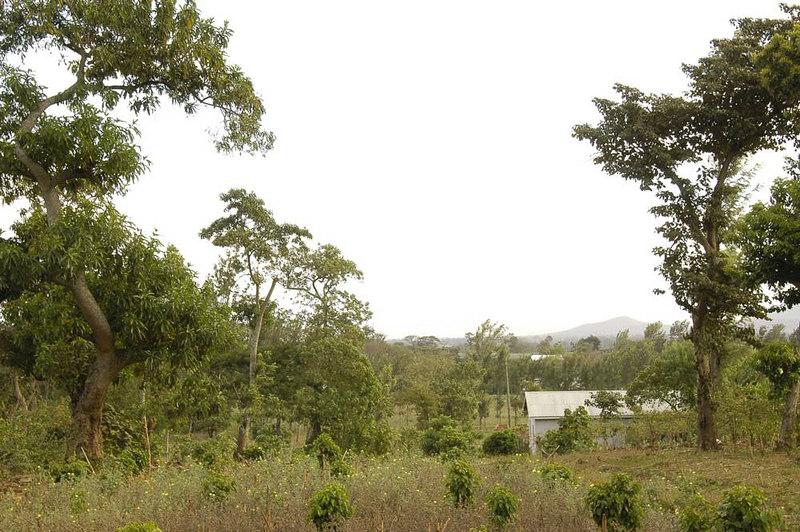 x_45 coffee micro-plantation of a Maasai farmer