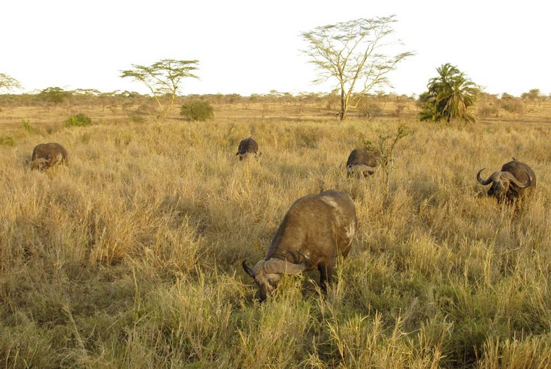 x_52 buffaloes and long shadows