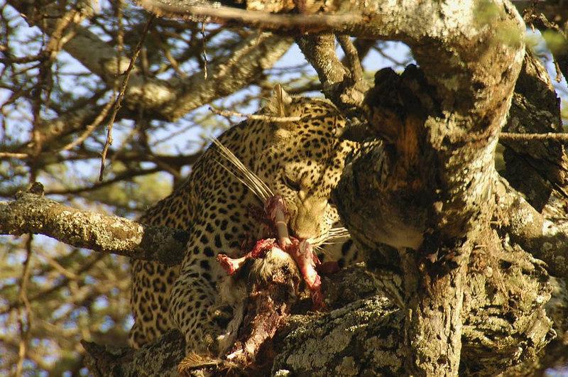 x_34 leopard in tree eating dinner 01