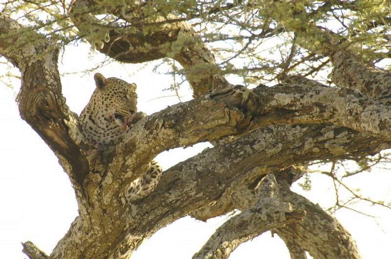 x_41 leopard cleaning-up after eating
