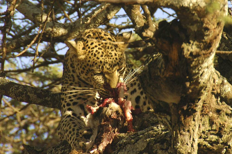 x_37 leopard in tree eating dinner 03