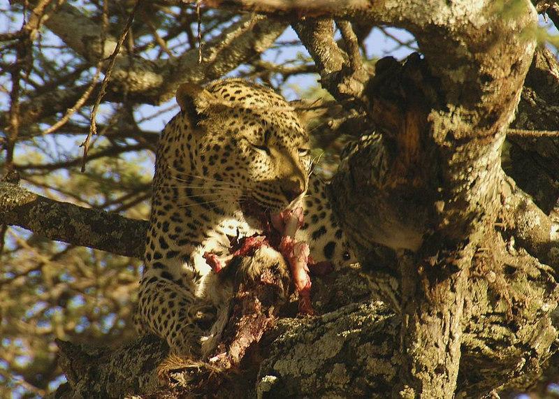 x_38 leopard in tree eating dinner 05