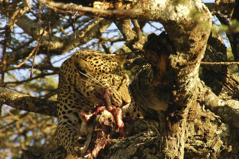 x_35 leopard in tree eating dinner 02