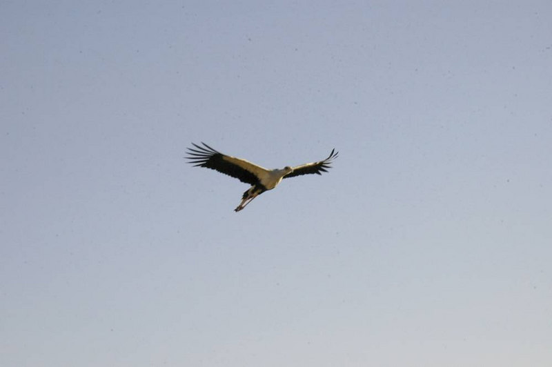 x_29 Secretary Bird flying overhead