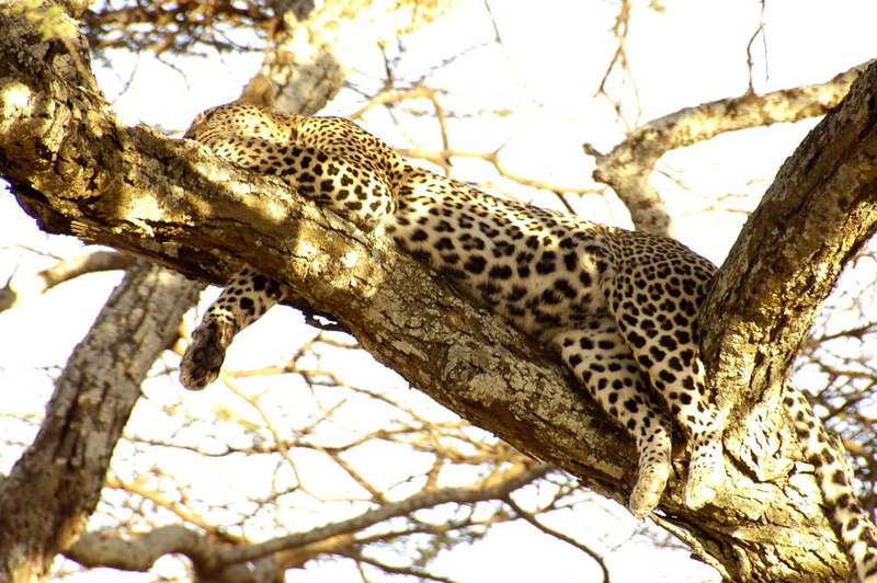 x_45 leopard takes an after-dinner nap