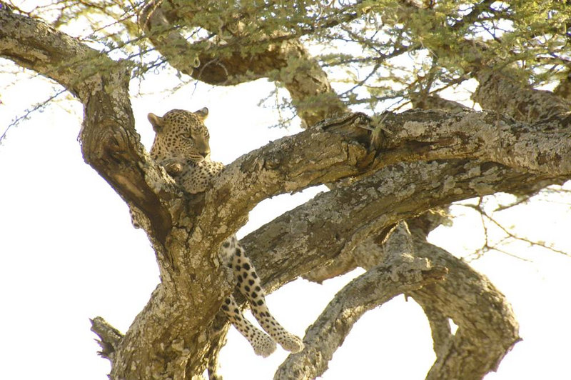 x_44 leopard sitting in forked branches licking paw