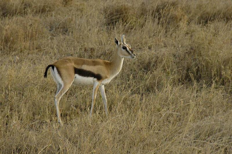x_27 Bambi! Thomson's Gazelle