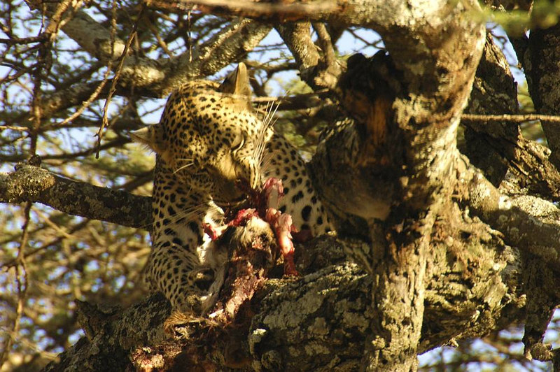x_36 leopard in tree eating dinner 04