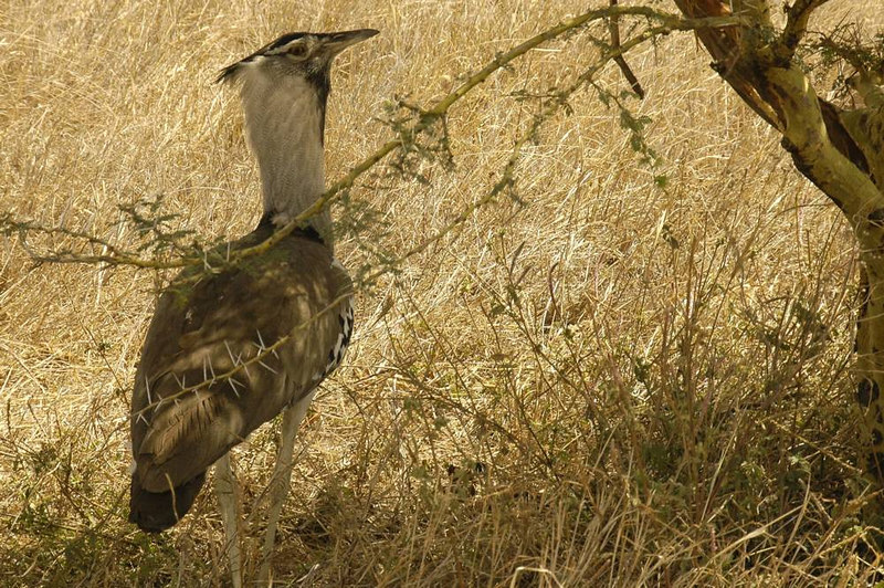 x_041 Kori Bustard under a thornbush