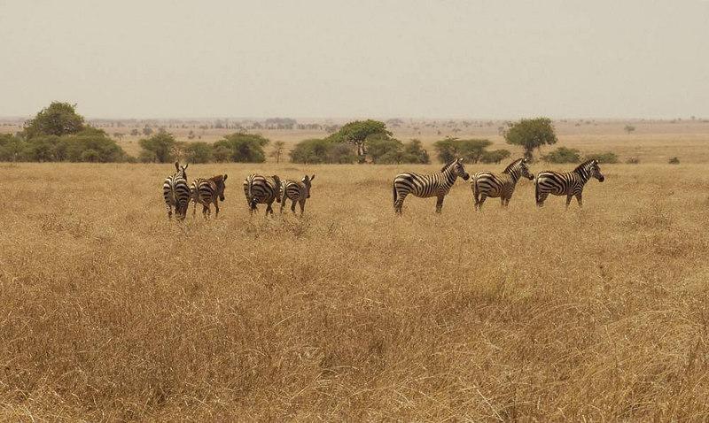 x_012 zebras in the grasslands