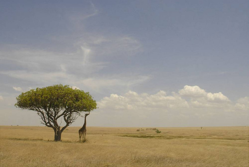 x_043 lone giraffe under a sausage tree