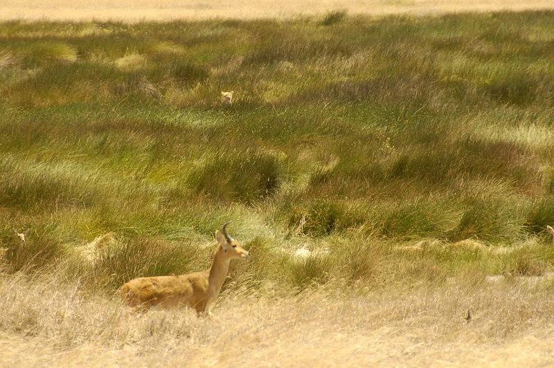 x_056 lion's head in tall green grass