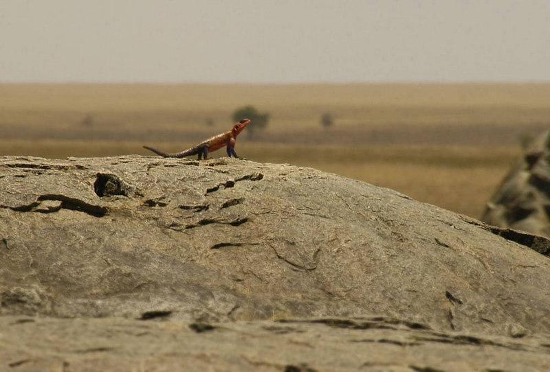 x_036 Agama lizard