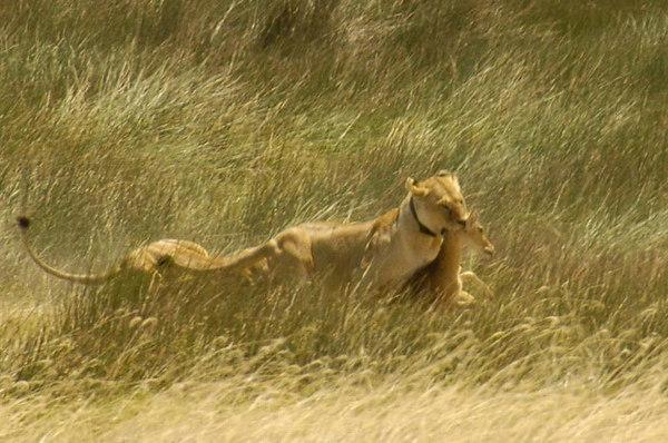 061010b Serengeti - AM game drive