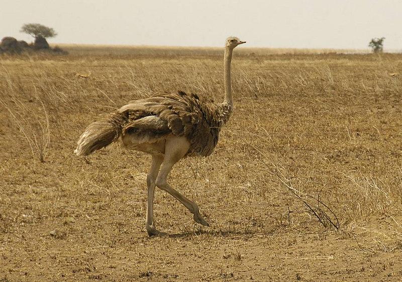 x_040 ostrich
