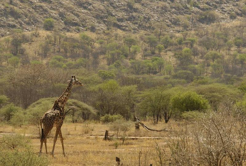 x_004 lone giraffe near base of mountain