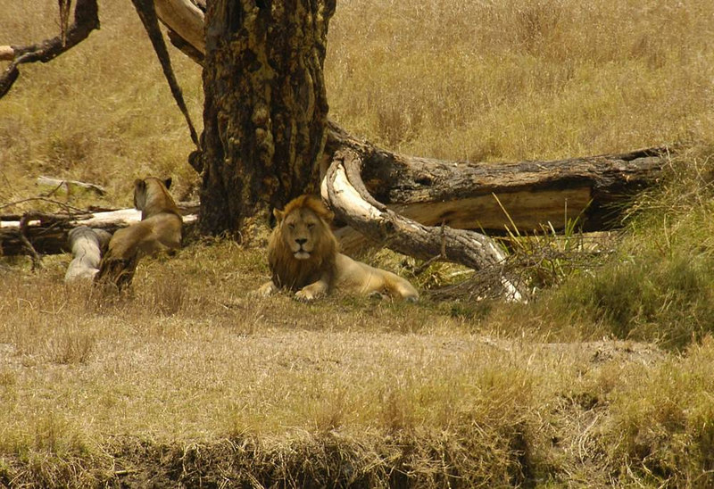 x_031 male and female lion pair at base of large tree