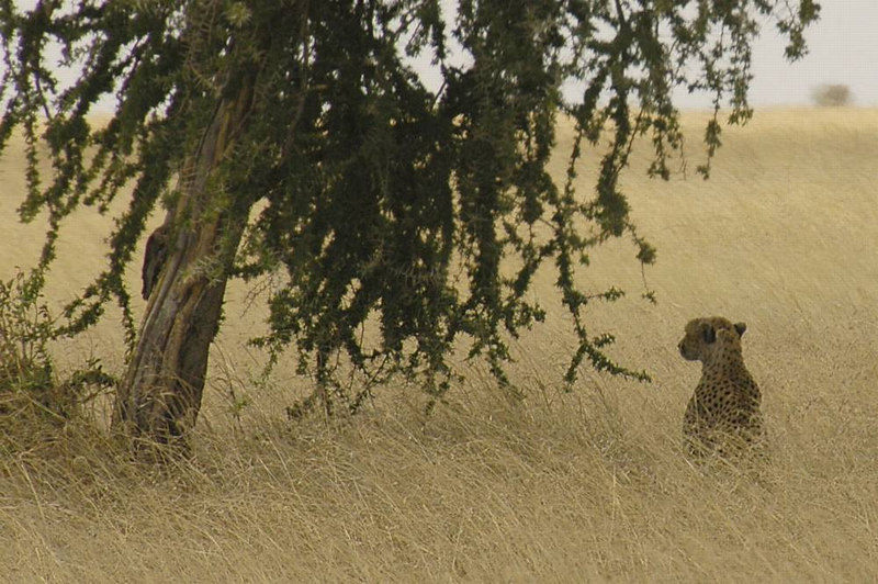 x_045 cheetah beside a tree
